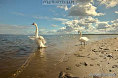 Swan on the beach flapping its wings