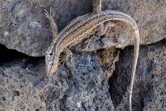 Jaszczurka z Teneryfy