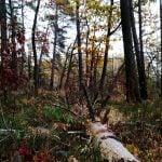 Zdjęcie przedstawia spróhniałe powalone drzewo na tle lasu w barwach jesieni