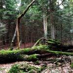 Powalone drzewo obrośnięte mchem