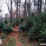 Na zdjęciu szlak biegnący przez młody jodłowy las
