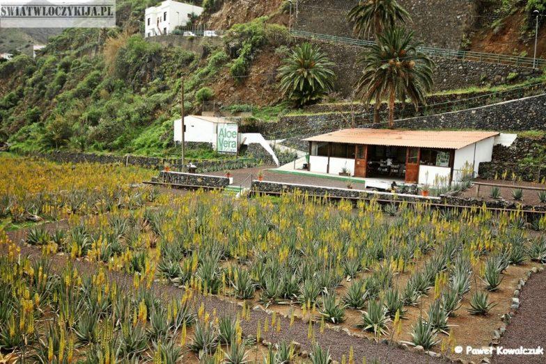 żółte pole aloesów - La Gomera - Wyspy Kanaryjskie