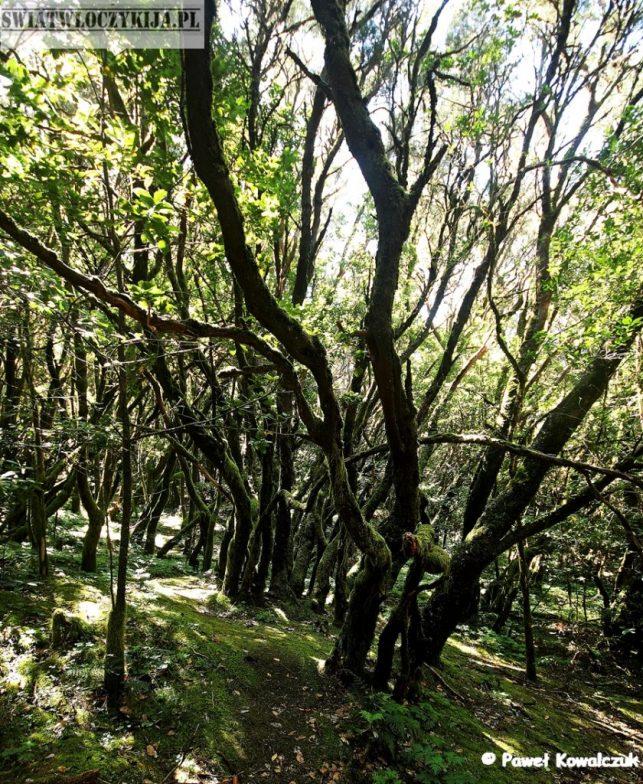 las wrzoścowy - Wyspy Kanaryjskie