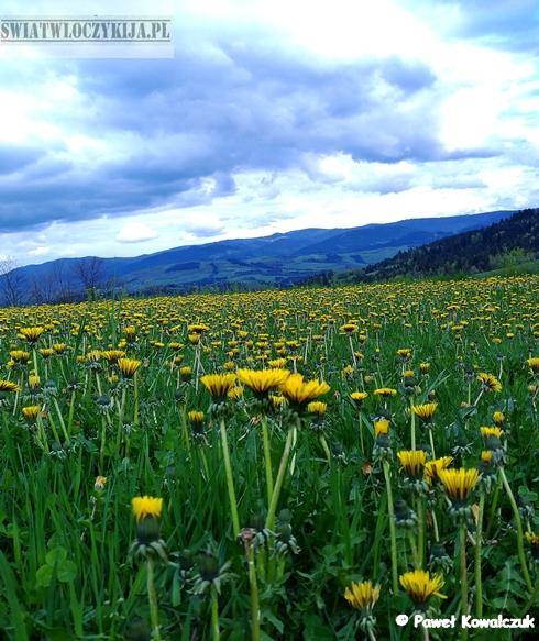 Dywan żółtych mleczy. W tle góry i pochmurne niebo.