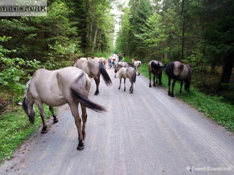Stado koników polskich na ścieżce rowerowej w lesie