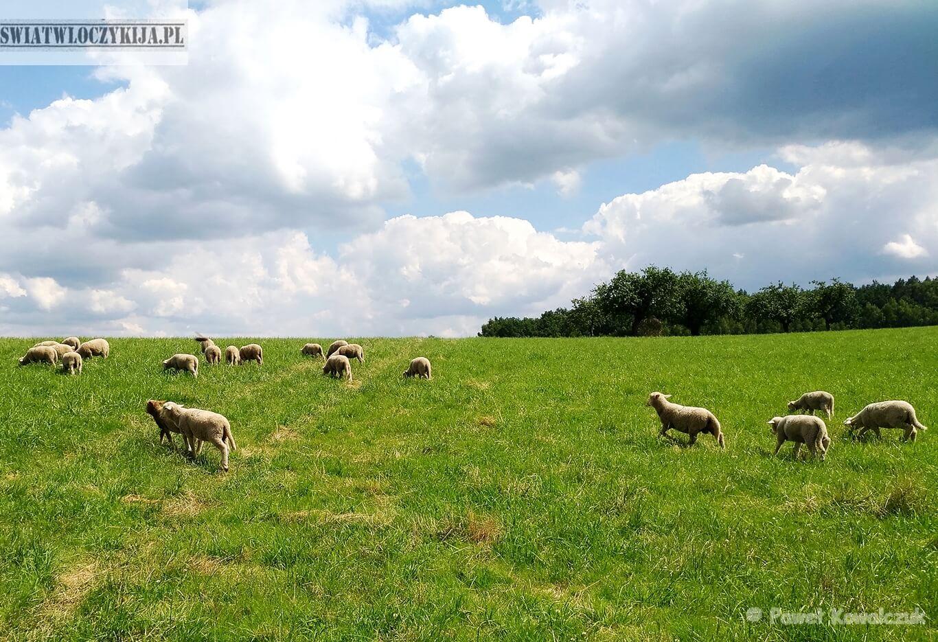 Owce na zielonej polanie. W tle białę chmury - Florianka