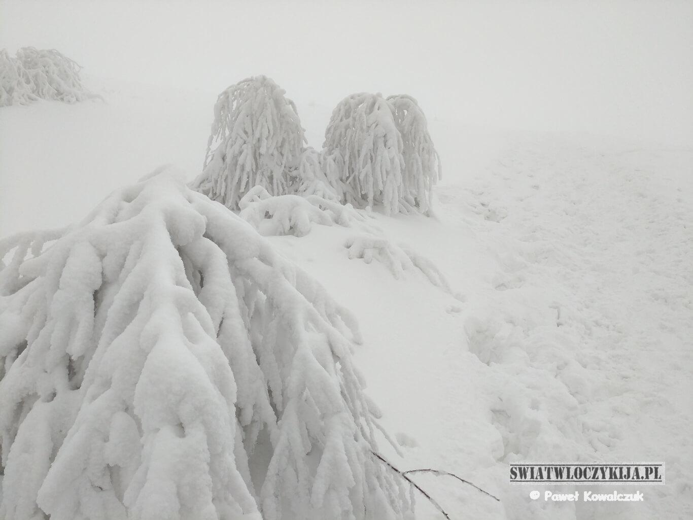 Ośnieżone krzewy na czerwonym szlaku na Połoninę Caryńską