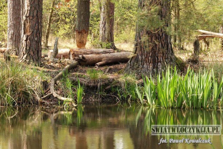 Nadgryzione przez bobry drzewo rosnące nad wodą na skraju lasu