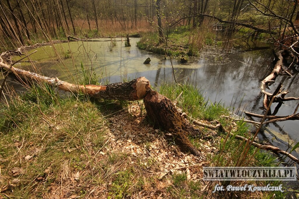Rozlewisko bobrów na stawie w Kozłowiecki Parku Narodowym. Na pierwszym planie widać powalone drzewo przez bobry. Za nim rozlewisko wraz z tamą wykonaną przez bobry