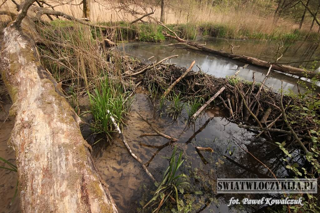Tama bobrów na jeziorze Stróżek. Kozłowiecki Park Krajobrazowy