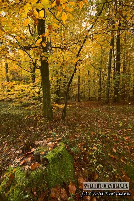obrośnięty mchem pień drzewa w lesie